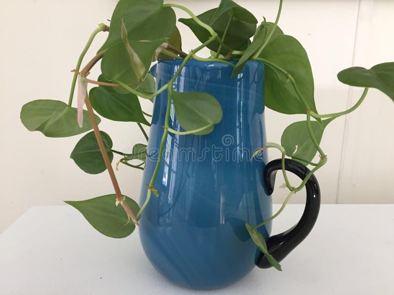 De knipsels die van de Philodendroninstallatie in een blauwe glaswaterkruik wortel schieten royalty-vrije stock foto's