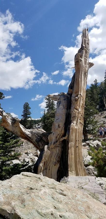De knoestige Oude Bristlecone-Stomp van de Pijnboomboom met Blauwe Hemel in Nevada Mountains stock afbeelding