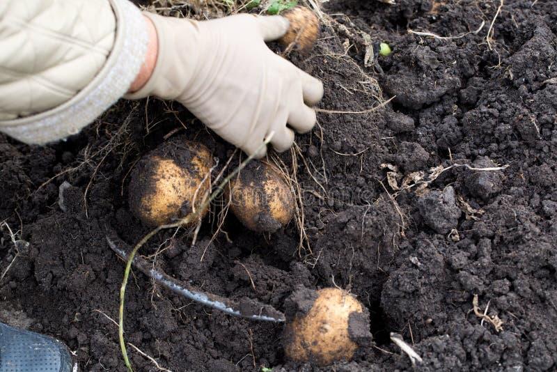 De knollen van aardappels die in de grond liggen royalty-vrije stock foto's