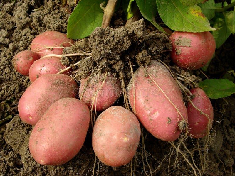 De knollen van de aardappel stock afbeeldingen