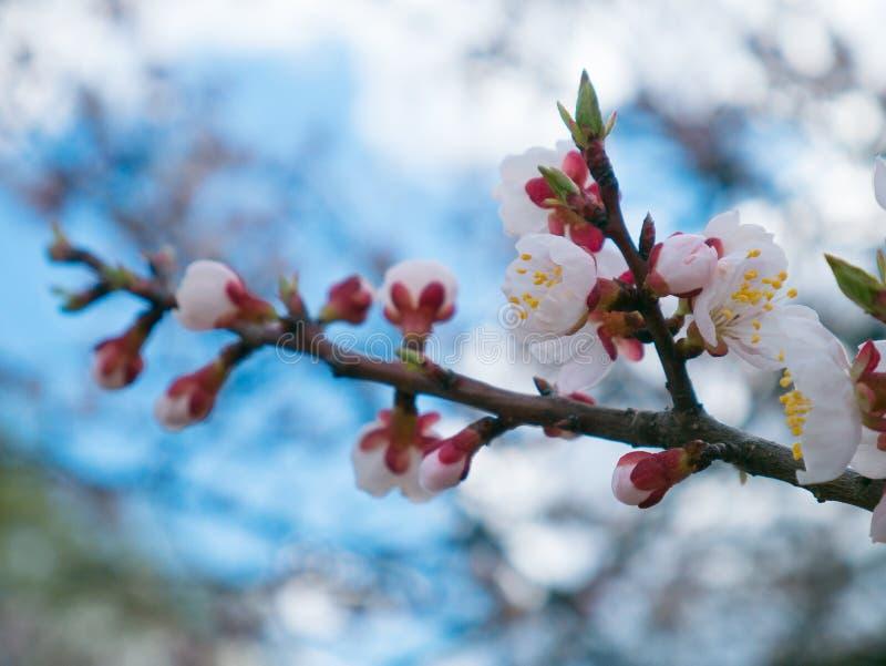 De knop van de abrikozenbloem op een tak van de boomtak met boomknoppen Bloss royalty-vrije stock fotografie