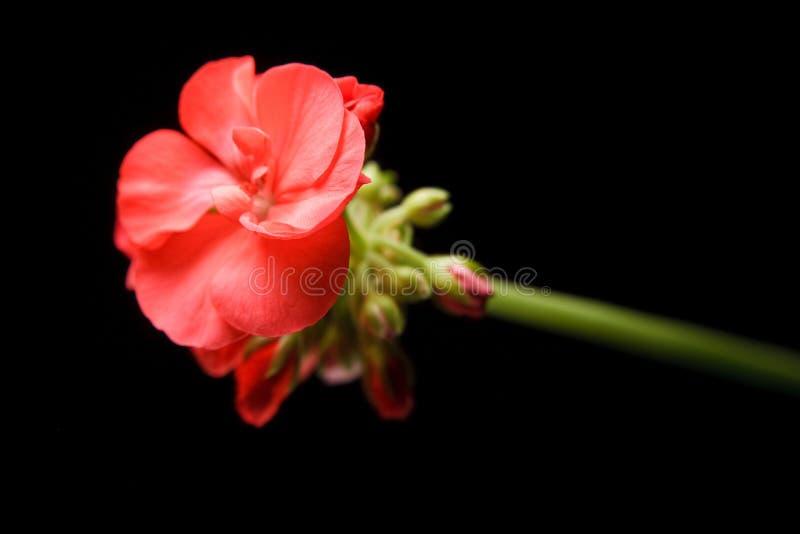 De knop van de geranium het uitbreiden zich stock foto's