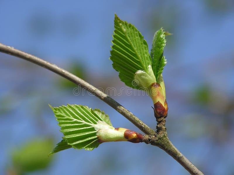 De knop van de lente royalty-vrije stock fotografie