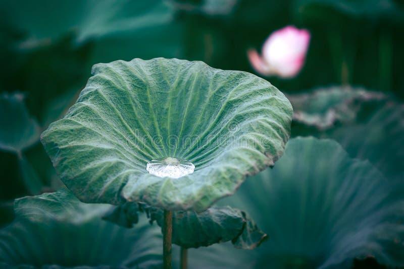 De knop van een lotusbloembloem De achtergrond is de lotusbloemblad en lotusbloembloem en lotusbloemknop en boom royalty-vrije stock afbeeldingen