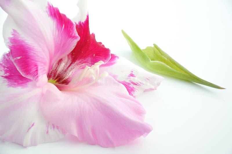 De knop van gladiolen stock fotografie