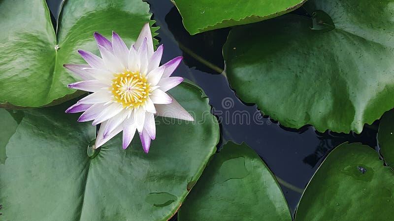 De knop van de lotusbloem royalty-vrije stock fotografie