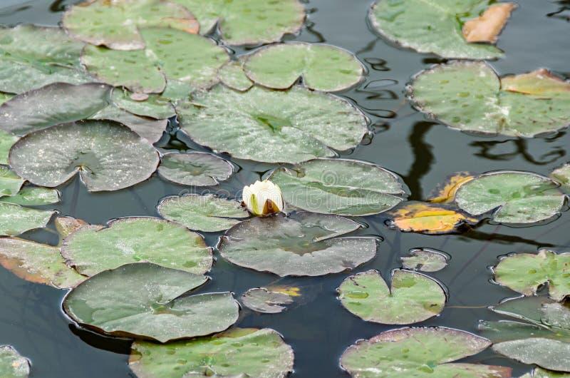 De knop van de stroomversnellinglelie op het meer, lotusbloembloem met groene stootkussens, royalty-vrije stock afbeeldingen