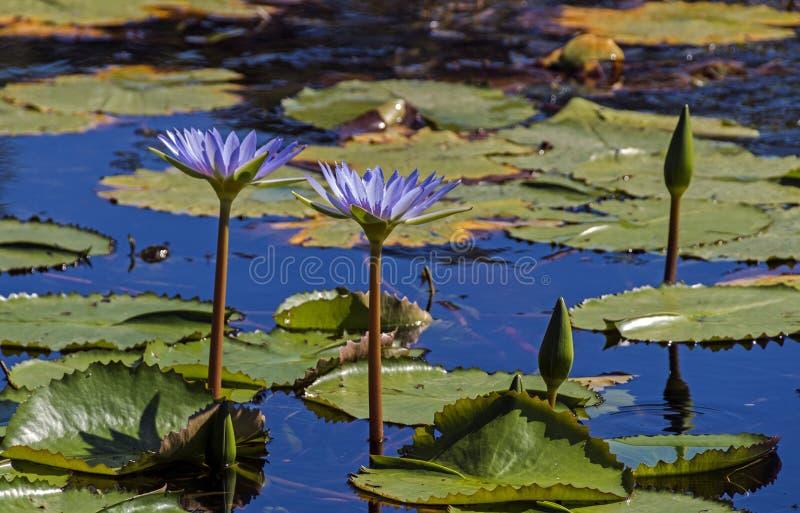 De Knop van waterlillies met Drijvende Groene Bladerenachtergrond royalty-vrije stock foto