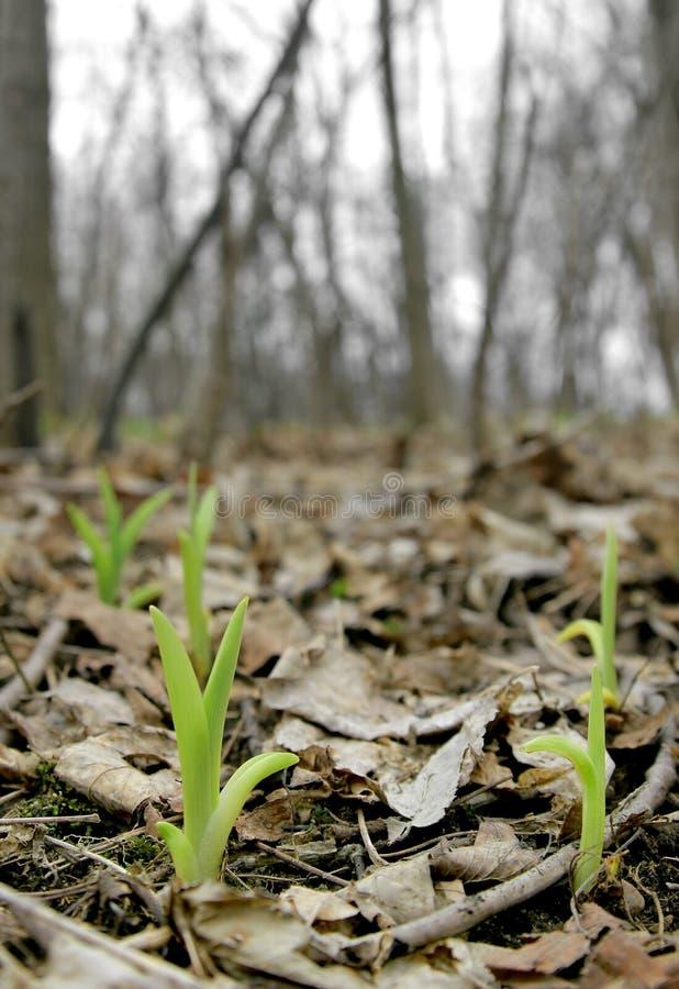 De knoppen die van de lente omhoog komen stock foto's