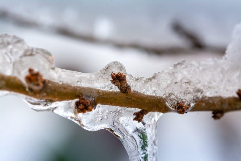 De knoppen van de bevroren boom stock afbeelding
