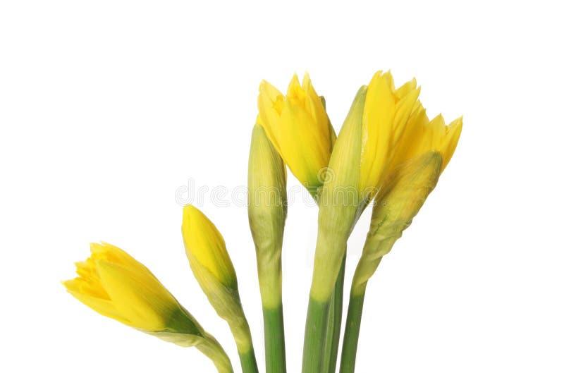 De knoppen van de gele narcis royalty-vrije stock fotografie