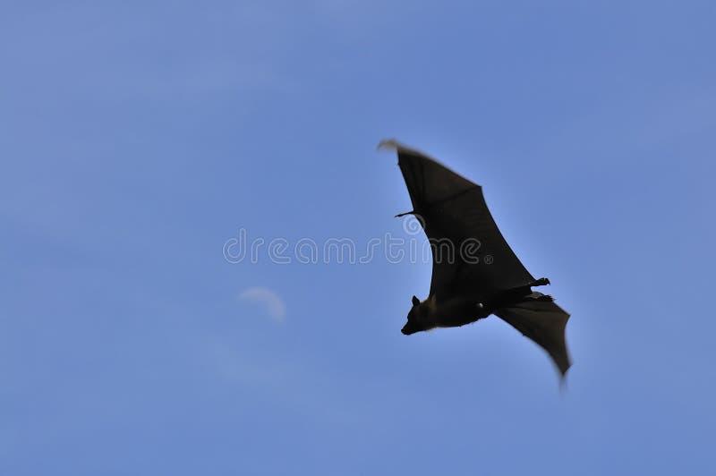 De knuppel van de vleerhond onder de daglichtmaan in Thailand stock fotografie