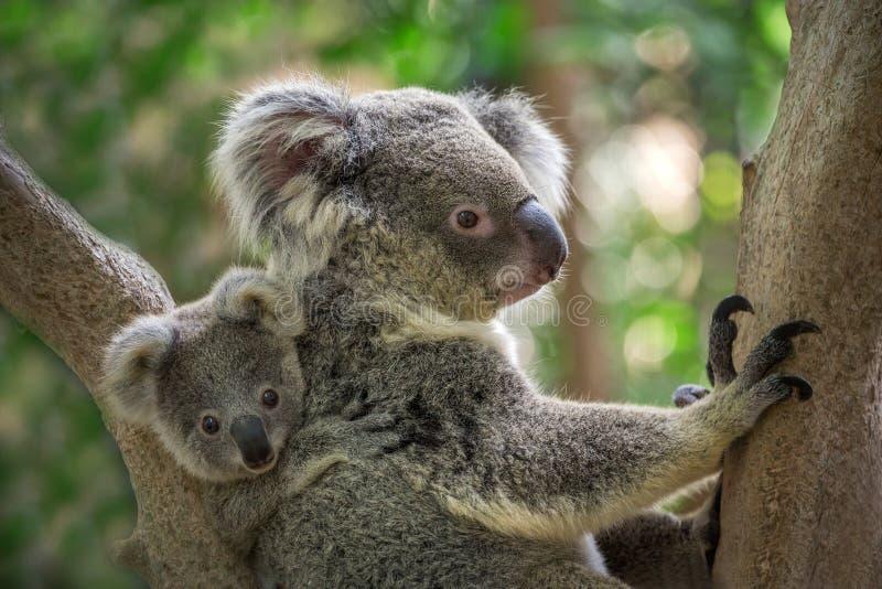 De koala van de moeder en van de baby royalty-vrije stock foto