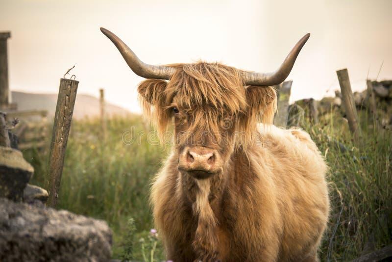 De Koe die van het hoogland Camera bekijkt royalty-vrije stock afbeeldingen
