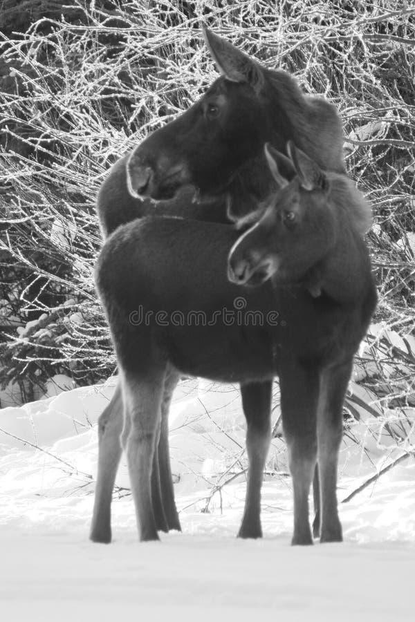 De Koe en het Kalf van Amerikaanse elanden stock afbeeldingen