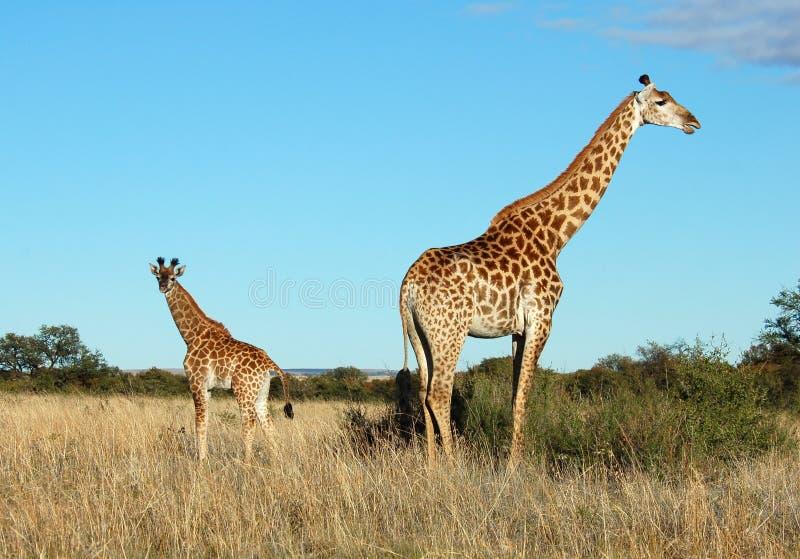 De koe en het kalf van de giraf in Afrika royalty-vrije stock foto
