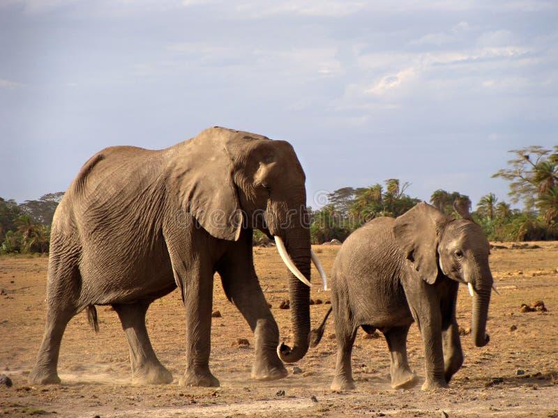 De koe en het kalf van de olifant in Amboseli stock foto's