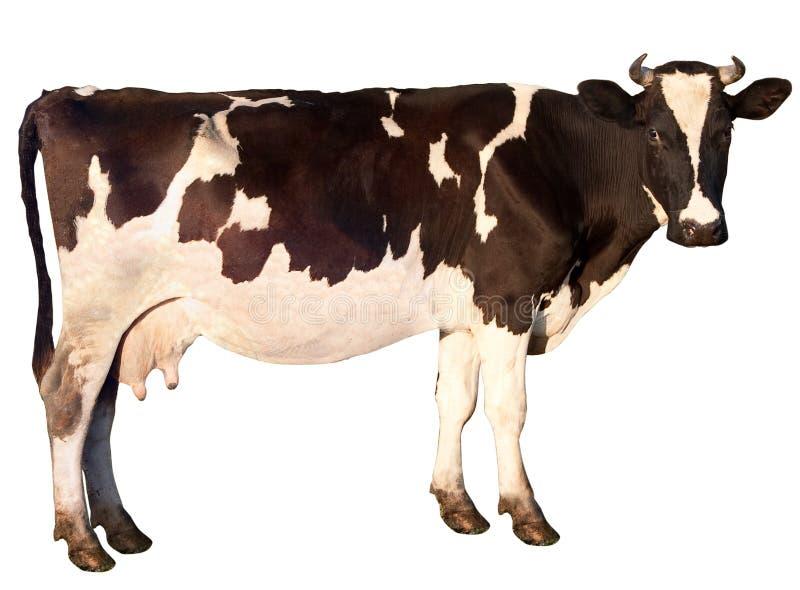 De koe is geïsoleerdz royalty-vrije stock foto