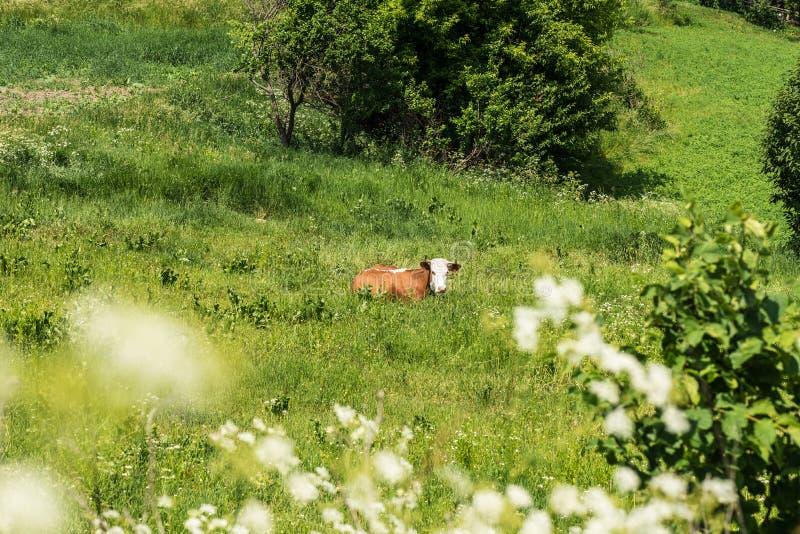 De koe rust op het groene gebied royalty-vrije stock afbeeldingen