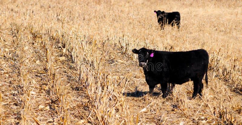 De koe van Angus royalty-vrije stock foto