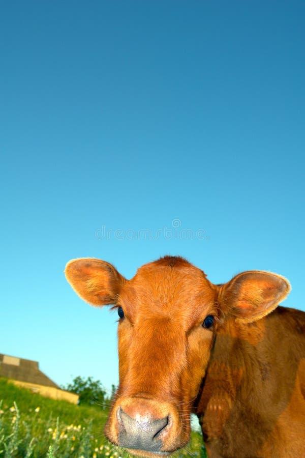 De koe van de baby royalty-vrije stock afbeeldingen