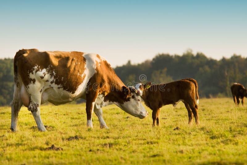 De koe van de moeder en van de baby stock fotografie