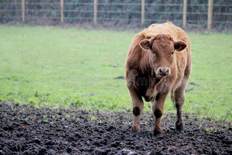 De koe van de stier op een groen gebied stock afbeeldingen