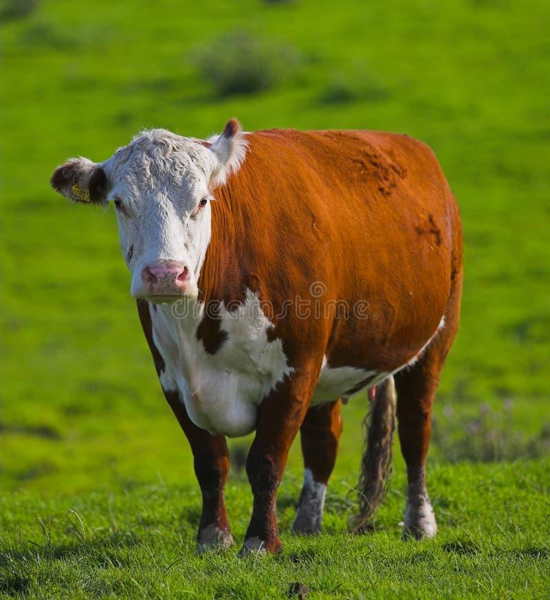 De koe van de zomer royalty-vrije stock afbeelding