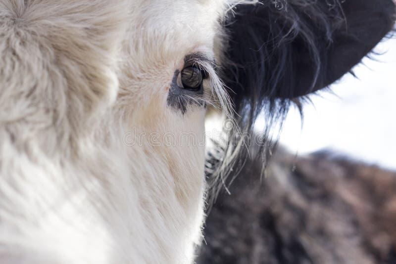 Download De koe van Galloway stock foto. Afbeelding bestaande uit hoef - 54091614