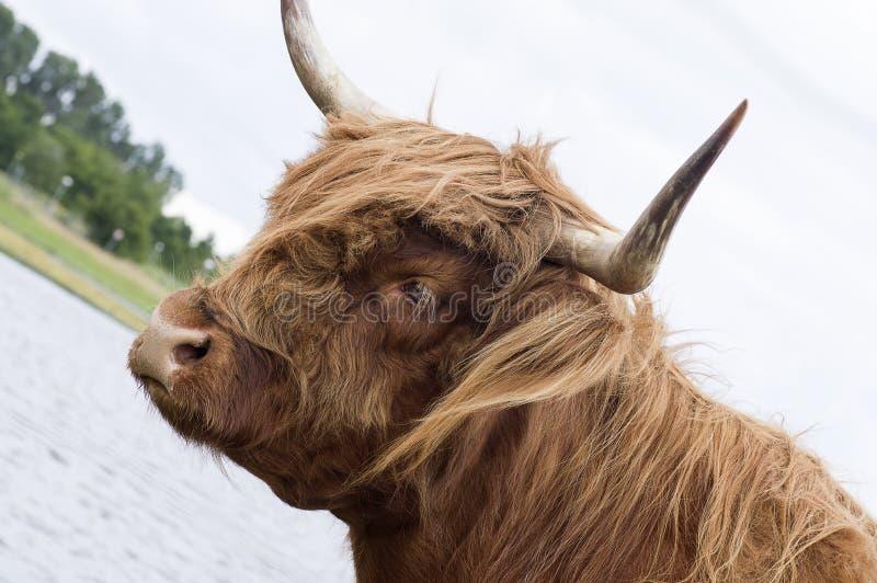 De koe van het hooglandvee royalty-vrije stock foto's