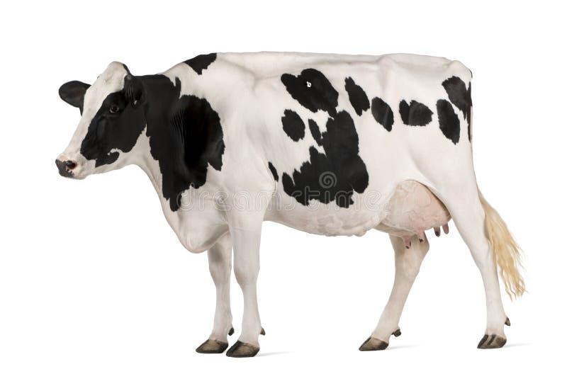 De koe van Holstein, 5 jaar oud, status royalty-vrije stock afbeeldingen