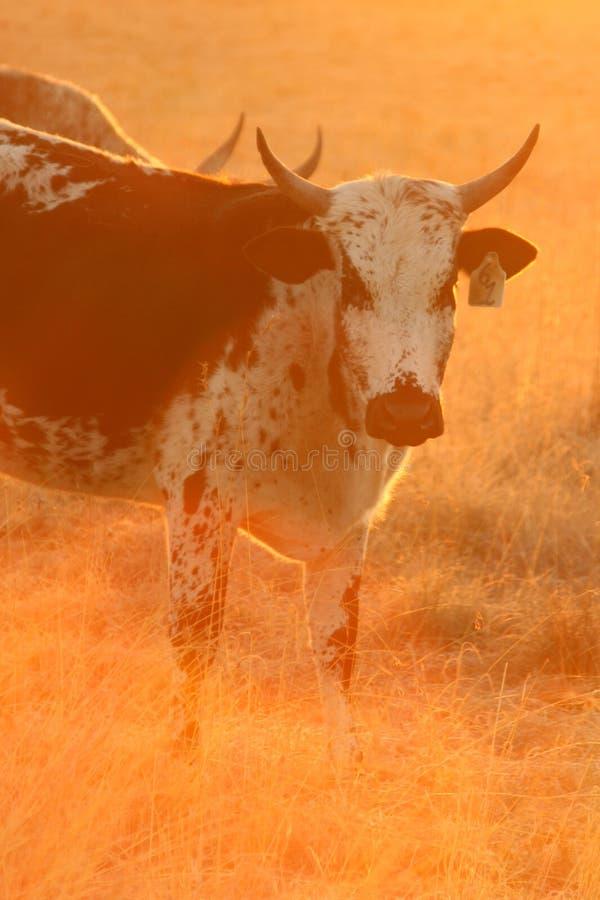 De koe van Nguni stock foto