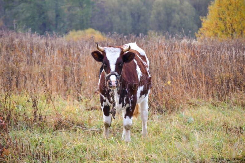 De koe weidt in een weide Autumn Landscape Rusland stock afbeelding