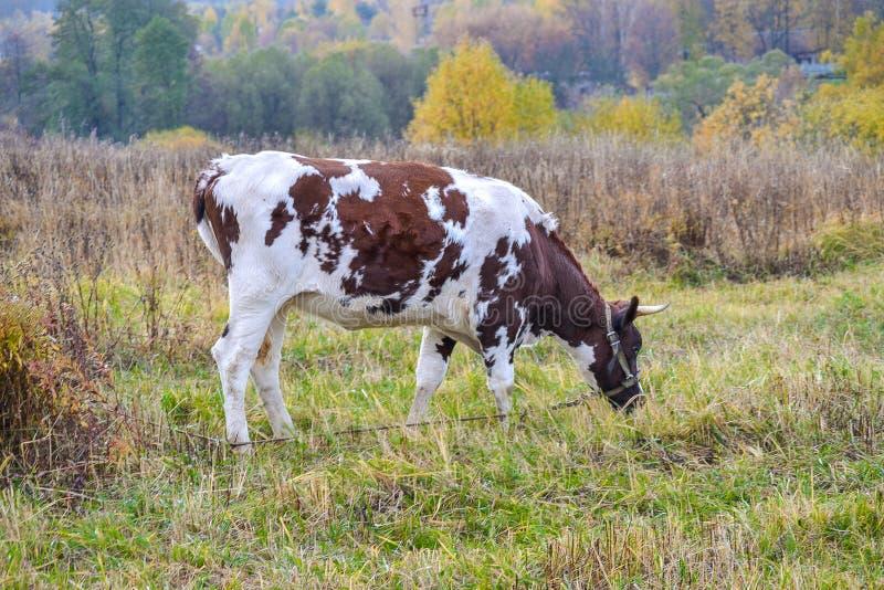 De koe weidt in een weide Autumn Landscape Rusland stock foto