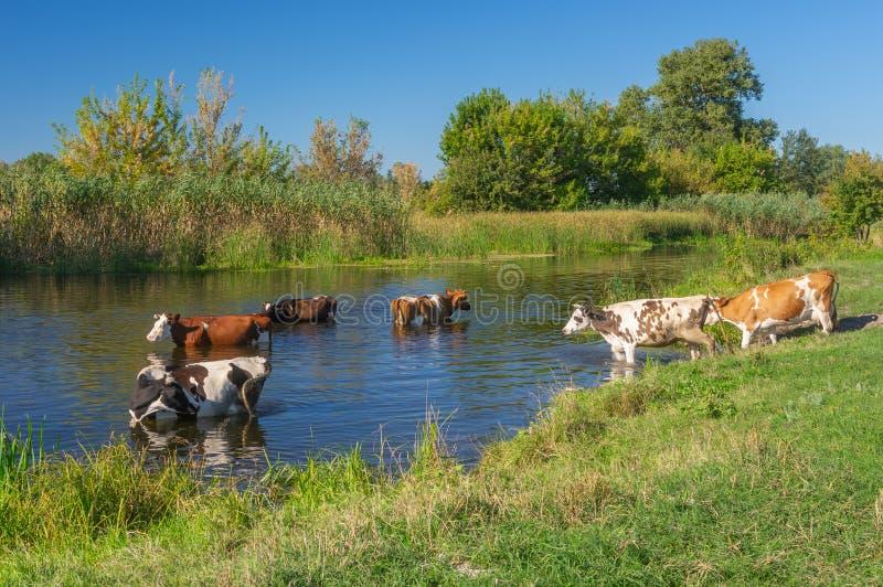 De koeien die baden in Oekraïense rivier Merla hebben stock afbeelding
