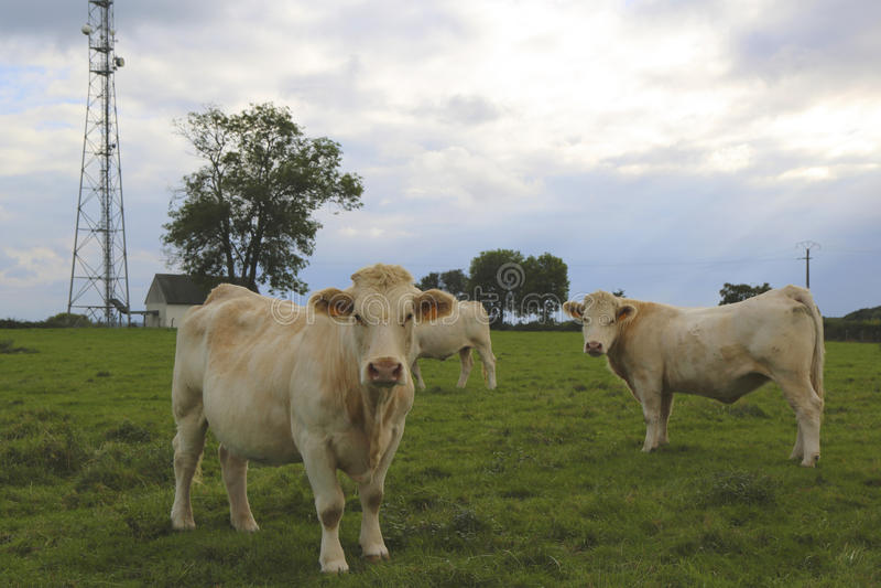 De koeien die van Charolais op weiland in Bourgondië, Frankrijk weiden stock fotografie