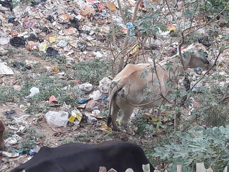 De koeien eet plastic en niet eatble dingen stock fotografie