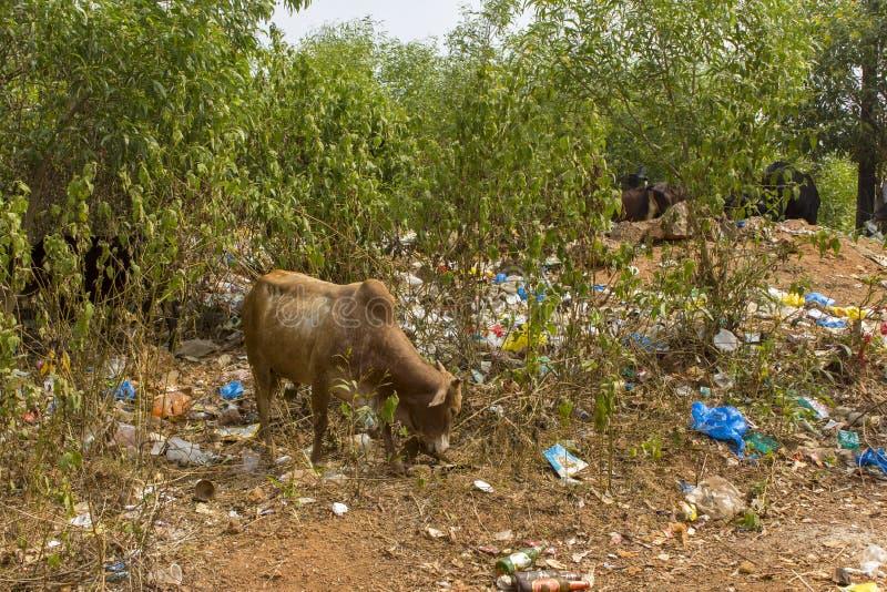 De koeien in het groene bos eten gras in een stapel van plastiek, glas en document huisvuil, stock afbeeldingen