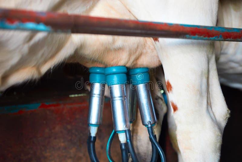 De koeien uiten en pijpleidingen tijdens het melken verrichting stock foto
