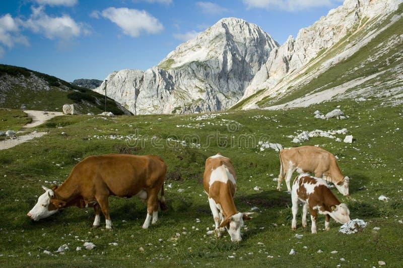 De Koeien van alpen royalty-vrije stock foto