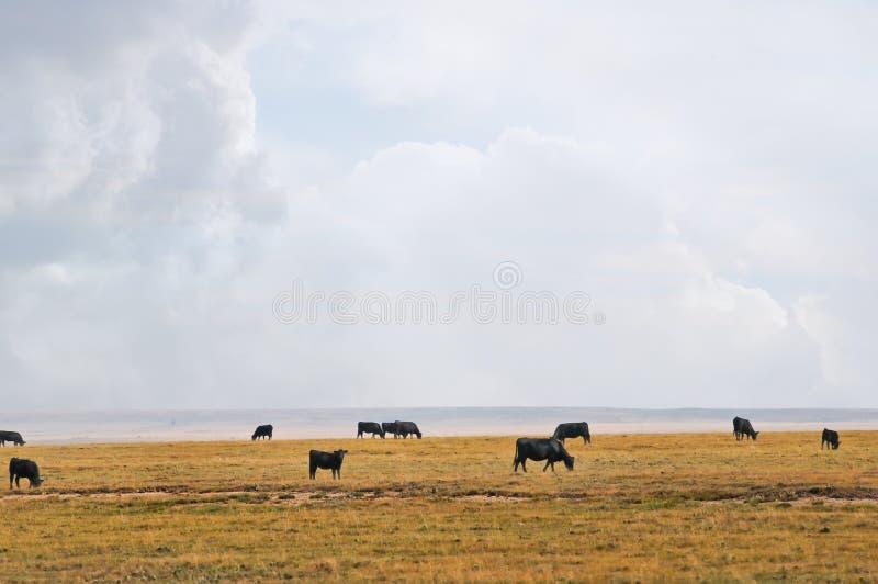 De koeien van de waaier onder een grote westelijke hemel stock fotografie