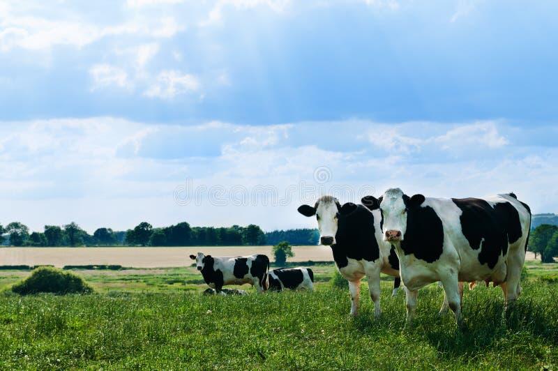 De Koeien van Freisian royalty-vrije stock afbeelding