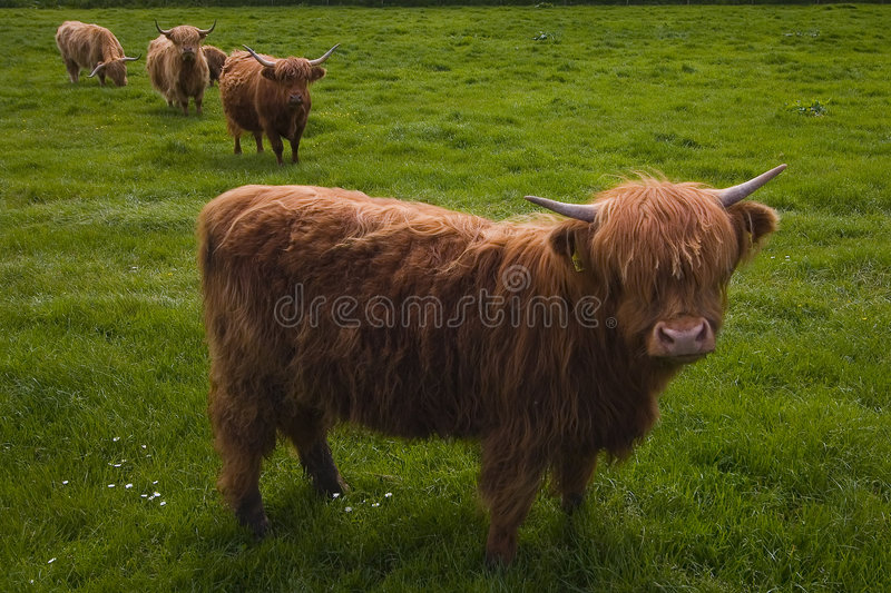 De Koeien van het hoogland royalty-vrije stock afbeeldingen