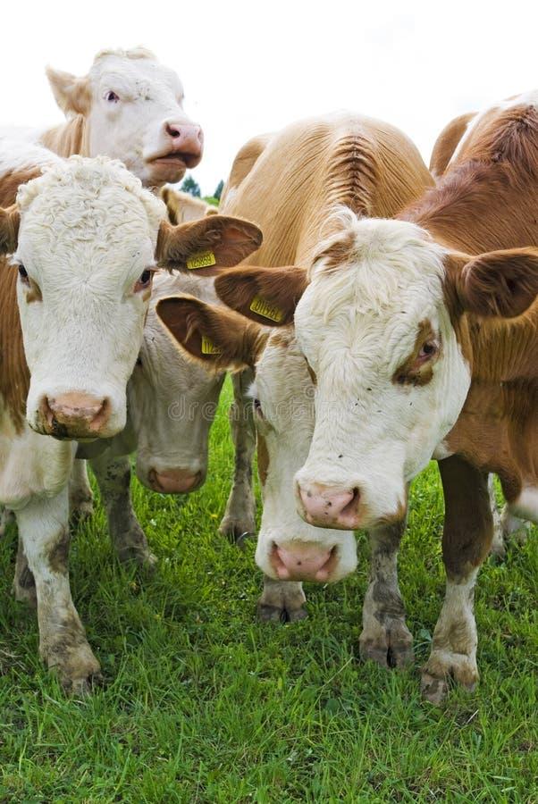 De Koeien Van Het Vee Stock Afbeelding
