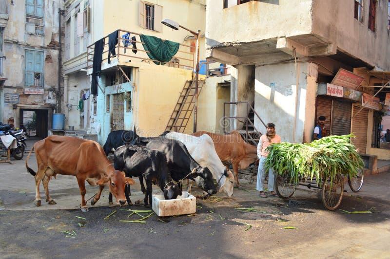De koeien waren voer bij ochtend dichtbij Manek Chowk, Ahmedabad stock afbeeldingen