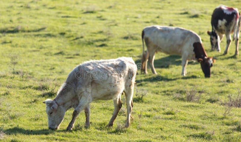 De koeien weiden op weiland op aard stock afbeeldingen