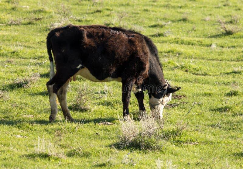De koeien weiden op weiland op aard royalty-vrije stock foto