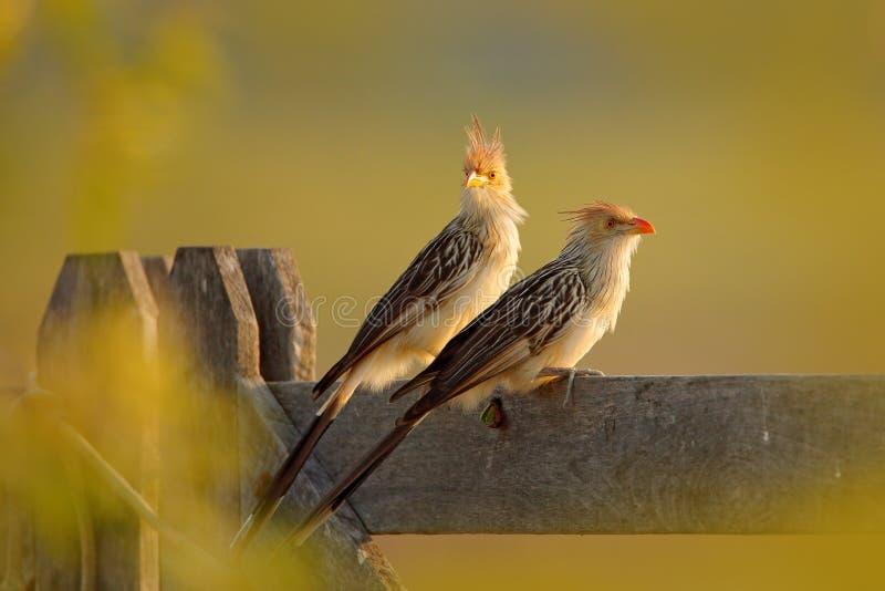 De koekoek van paarguira, Guira-guira, in aardhabitat, vogelzitting in toppositie, grijze vogel, Mato Grosso, Pantanal, Brazilië  royalty-vrije stock afbeeldingen