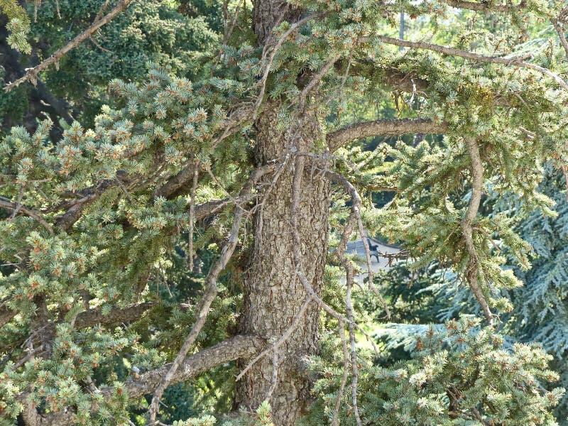 De kofferbak van de machtige Cedar. Cedrus Aan de zuidkust van de Krim worden de cedars in het gebied genaturaliseerd stock afbeeldingen