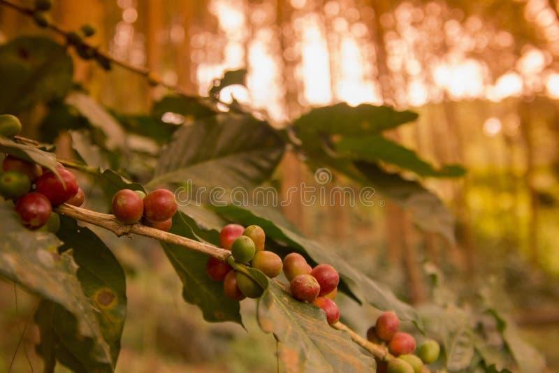 DE KOFFIEaanplanting VAN THAILAND CHIANG RAI DOI TUNGBOOM royalty-vrije stock foto's